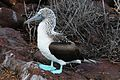 Blue-footed Booby (4885195974).jpg