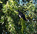 Blue-throated Piping Guan (Pipile cumanensis) eating Combretum flowers (28208216870).jpg