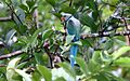 Blue-winged Parakeet.jpg