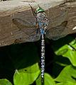 Blue Dragonfly 1 (7974349178).jpg