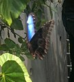 Blue Morphos 2.jpg