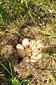 Blue Winged Teal Nest (12816136193).jpg