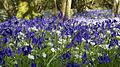 Bluebells and Ramsons (8750183849).jpg
