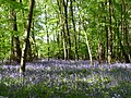Bluebells at Coalpit Copse - geograph.org.uk - 1294279.jpg
