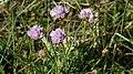 Blumen in Salzwiese.jpg