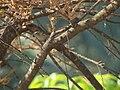 Blyth's Reed-Warbler (Acrocephalus dumetorum).jpg