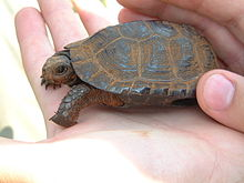 This shaded bog turtle specimen is resting in the palm of a person's hand, highlighting its petite size