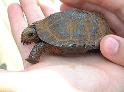 Bog Turtle 01.jpg