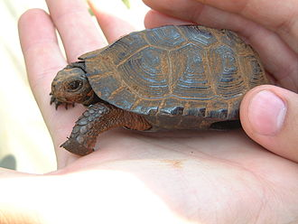 Emydidae - This bog turtle displays the keeled carapace, large bridge, and small head found in most emydids.