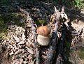 Boletus reticulatus Sr.JPG