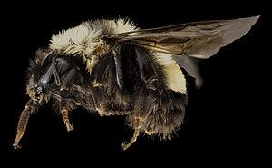 Bombus affinis - Image: Bombus affinis, F, side, sky meadows, virginia 2014 09 22 18.05.02 ZS P Max (15169110488)