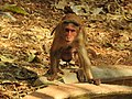 Bonnet Macaque Macaca radiata with young by Dr. Raju Kasambe DSCN0473 (11).jpg