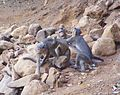 Bonnet macacque Macaca radiata at Matheran Maharashtra India (6). Fight for mating..JPG