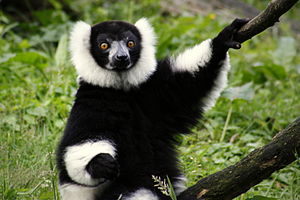 Black-and-white ruffed lemur - Image: Bontevari 2