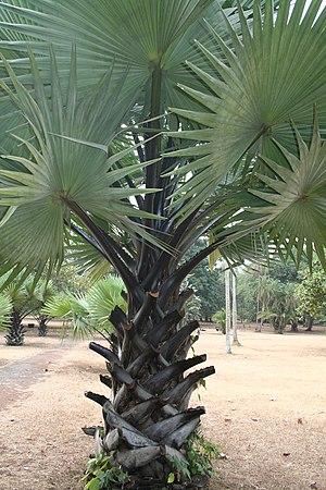 Borassus - Young African Palmyra palm (Borassus aethiopum)