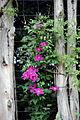 Border clematis trellis Clavering Essex England.jpg