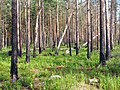 Boreal pine forest 4 years after fire, 2010-07.jpg