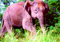 Borneo Elephant.png