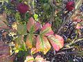 Botany Bay - Rosa rugosa 4.jpg