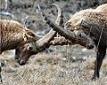 Bouquetins combat.jpg