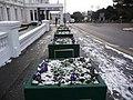 Bournemouth, cold crocuses on Bath Road - geograph.org.uk - 1145648.jpg