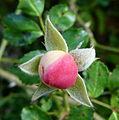 Bouton de rose sauvage.JPG