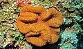 Brain Coral (Lobophyllia sp.) (8480567963).jpg