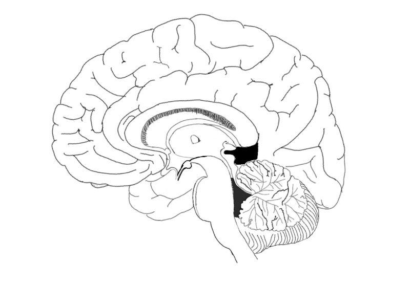 filebrain midsagital viewpng wikimedia commons