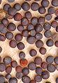 Brassica napus seeds, koolzaad zaden.jpg