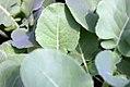 Brassica oleracea Packman 0zz.jpg