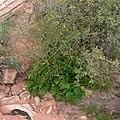 Brassica tournefortii 2.jpg