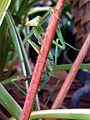 Brazil mantis.jpg