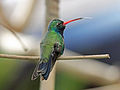 Broad-billed Hummingbird RWD2.jpg