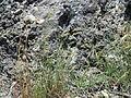 Bromus hordeaceus (6134074587).jpg