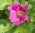 Brosen rosa rugosa2.jpg
