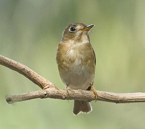 Brown-breasted flycatcher - Front view