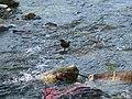Brown Dipper - Cinclus pallasii - P1050337.jpg