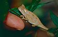 Brown Leaf Chameleon (Brookesia superciliaris) (10313513283).jpg