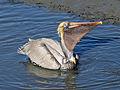 Brown Pelican RWD3c.jpg