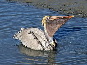 Brown Pelican RWD3c.jpg