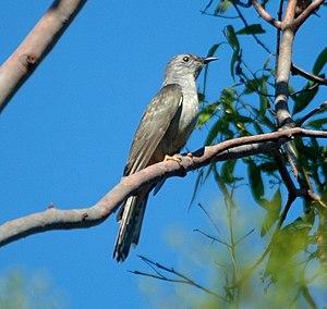 Brush cuckoo - Image: Brush Cuckoo Oct 2007
