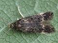 Bryotropha affinis (39992276595).jpg