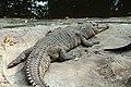 Buaya muara Crocodylus porosus Bandung Zoo 3.jpg