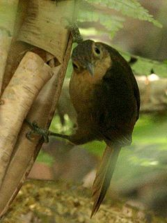 Buff-throated Foliage-gleaner (Automolus ochrolaemus) in Costa Rica.jpg