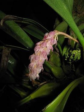 Bulbophyllum crassipes1.jpg