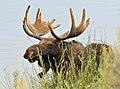 Bull Moose on Seedskadee National Wildlife Refuge (20496873473).jpg