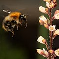 Bumblebee heuchera.jpg