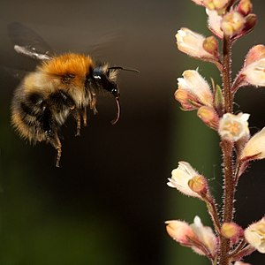 A bumblebee about to alight on a Heuchera, wit...
