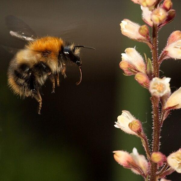 File:Bumblebee heuchera.jpg