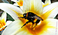 Bumblebee on flower.png